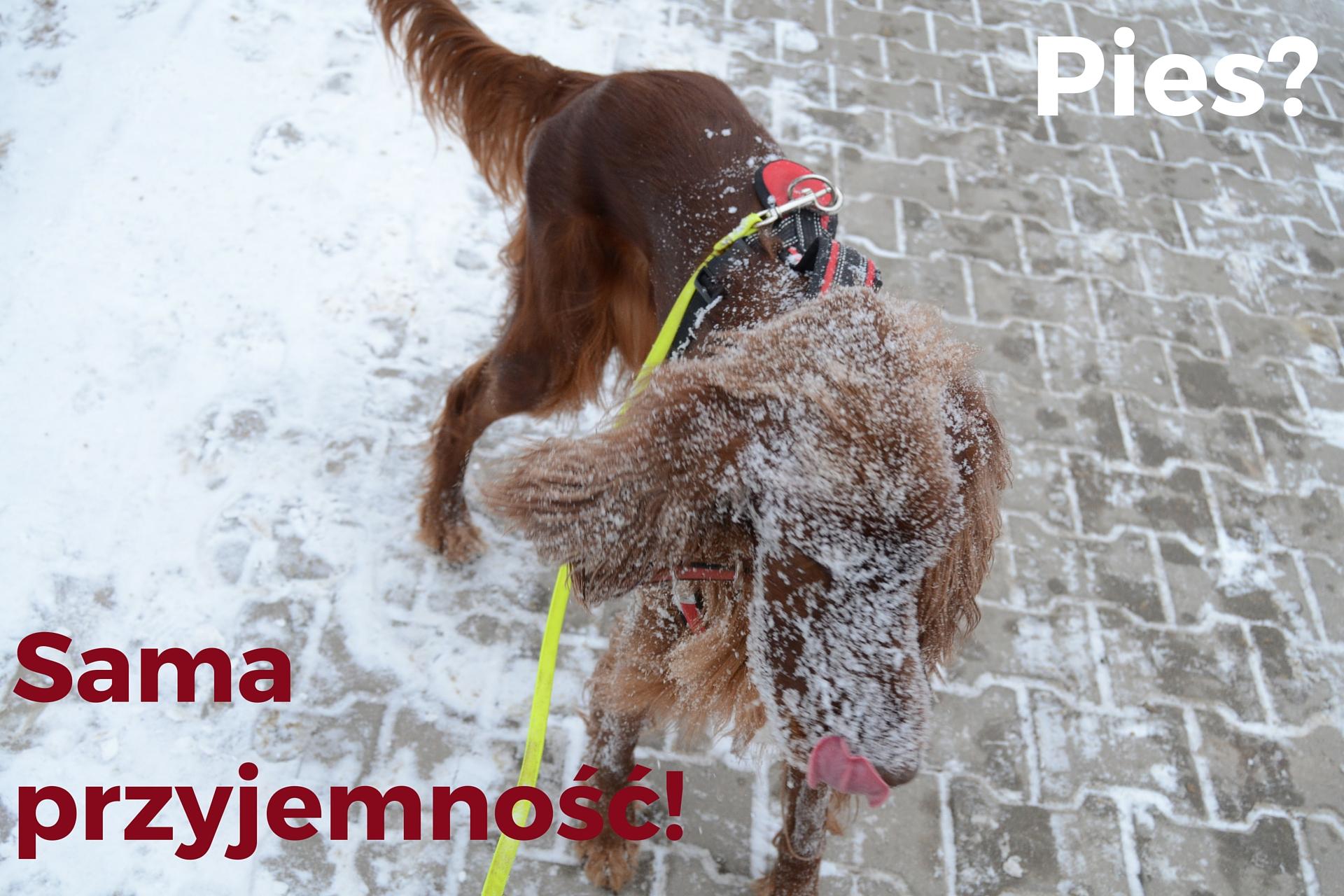 Pies bawi się w śniegu.