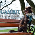 Gambit: pierwszy rok