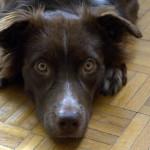 Obedience: jak trenuję z kontuzjowanym psem?
