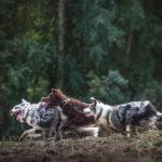 Kontakty z innymi psami. Swoi i obcy na treningach i spacerach
