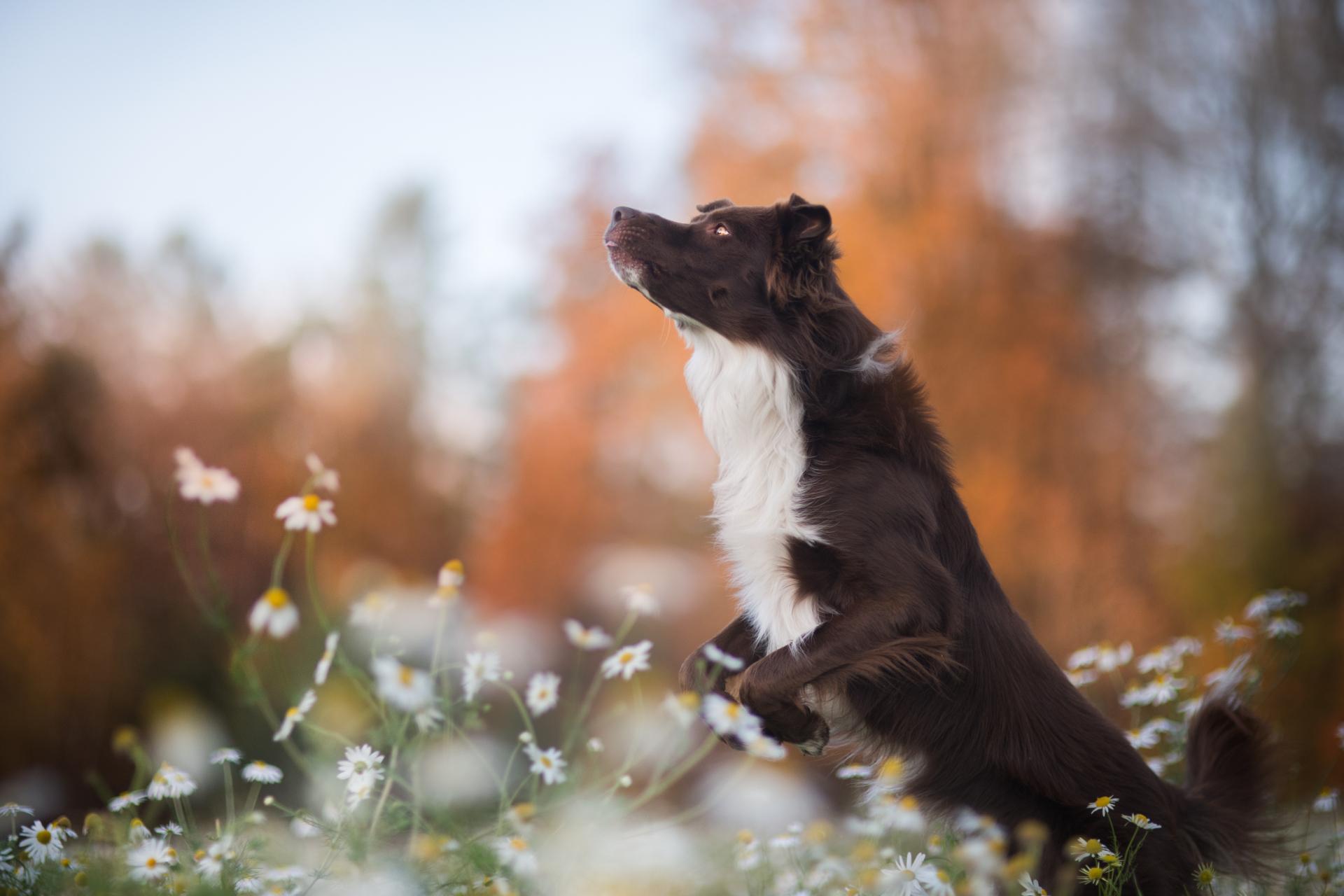 Pies na kwietnej łące wyskakujący w górę.