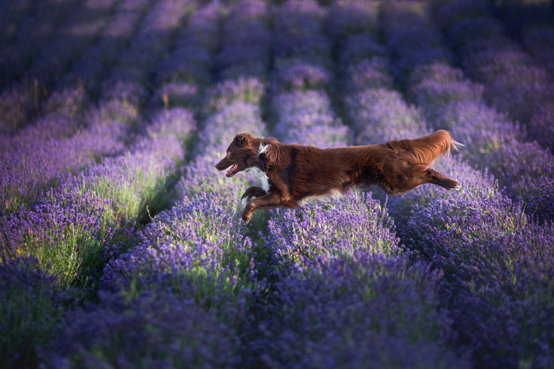 Pies o czekoladowym umaszczeniu biegnie przez pole lawendy.